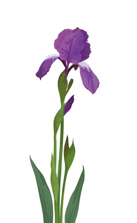 herbaceous: Flower iris, lilac petals and green leaves, isolated on white background. Vector