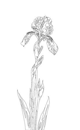 isolated irises: Flower iris, monochrome contours on white background. Vector