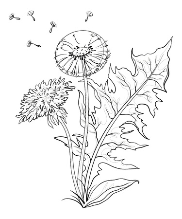 Flowers dandelions with leaves and seeds, contours. Vector Vector