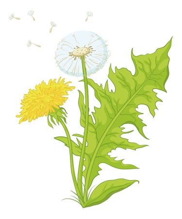 edible: Flowers dandelions with green leaves, yellow, and with seeds. Vector Illustration