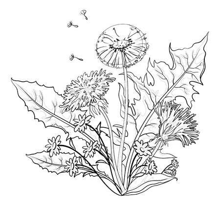 Flowers dandelions with leaves and seeds, contours  Vector