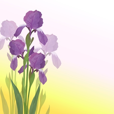 Flowers iris, lilac petals and green leaves on pink and yellow background  Vector Vector