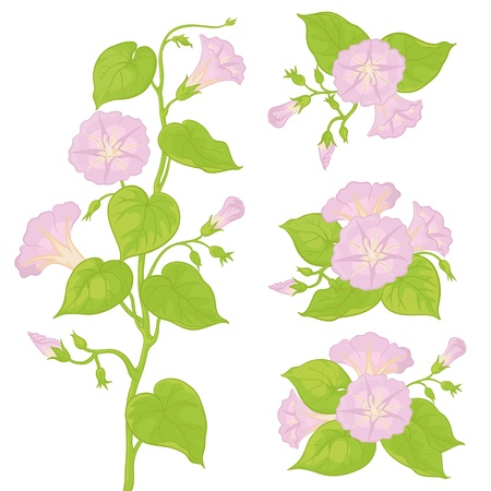 ipomoea: Lilac flowers ipomoea with green leaves, isolated on white background  Vector