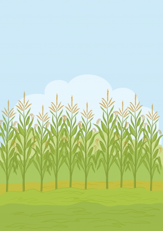 corn flour: Agricultural rural landscape, field with green maize  Vector illustration