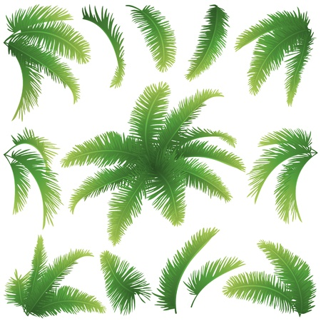 tropical evergreen forest: Set green branches with leaves of palm trees on a white background  Drawn