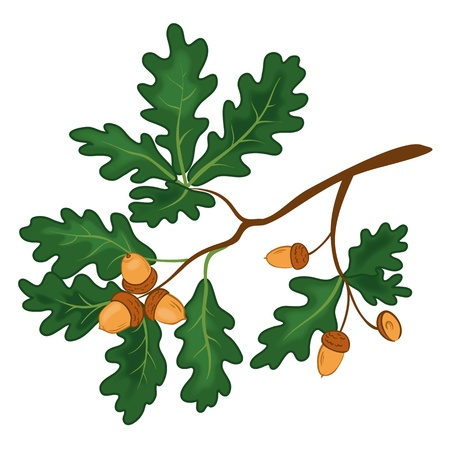 acorn seed: Oak branch with green leaves and acorns on a white background