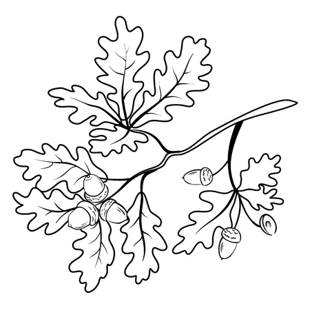 acorn seed: Oak branch with leaves and acorns, black contour on white background
