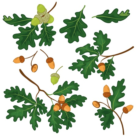 Set oak branches with green leaves and acorns on a white background  , contains transparencies   Vector
