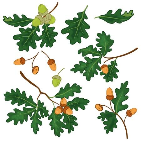 Set ramas de roble con hojas y bellotas verdes sobre un fondo blanco, contiene transparencias