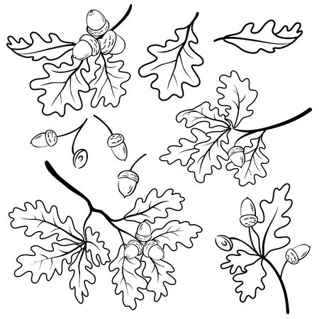 Set oak branches with leaves and acorns, black contour on white background Illustration