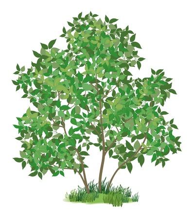 reforestaci�n: �rbol lila con hojas y pasto verde, aislados en fondo blanco Vector