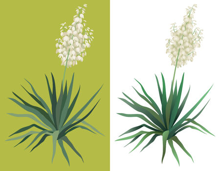yucca: Flowering green plant Yucca isolated on white background. Drawn from life. Vector