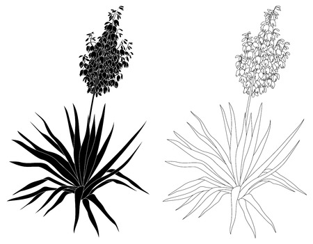 yucca: Flowering plant Yucca, black contours and silhouettes isolated on white background. Vector