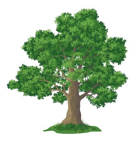 Árbol de roble con hojas y la hierba verde, aislado en fondo blanco. Vector