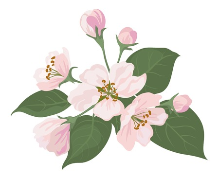 Pink apple tree flowers and green leaves isolated on white background