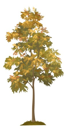 acacia: Acacia autumnal tree with leaves and grass, isolated on white background. Vector Illustration