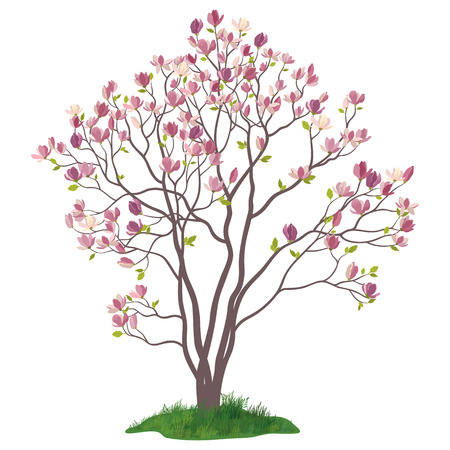Spring Magnolia Tree with Flowers, Leaves and Green Grass Isolated on White Background. Vector Illustration