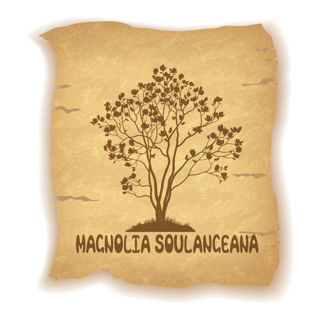 magnolia soulangeana: Magnolia Soulangeana Plant with Flowers Silhouette and the Inscription on the Vintage Background of an Old Sheet of Paper. Eps10, Contains Transparencies. Vector