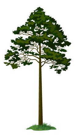 arbol de pino: Árbol de pino y la hierba verde aislado en el fondo blanco. Vector Vectores