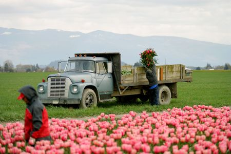 Tulip farm workers in Skagit Valley, Washington photo