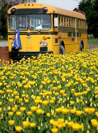 Yellow school bus in field of tulips photo