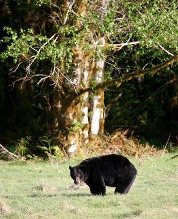 omnivore animal: Black Bear in Olympic National Park