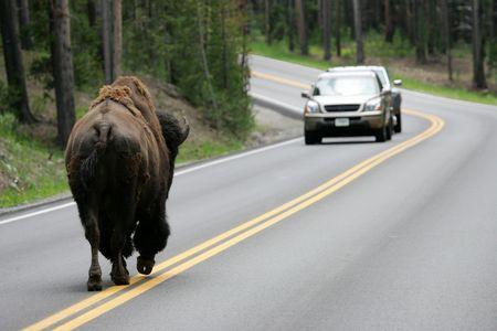 yellowstone: Buffalo on road in Yellowstone National Park, Wyoming