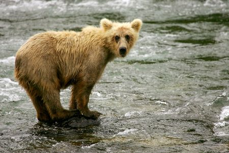 cachorro: Grizzly tiene la pesca de salm�n, Brooks Falls, NP Katmai, Alaska