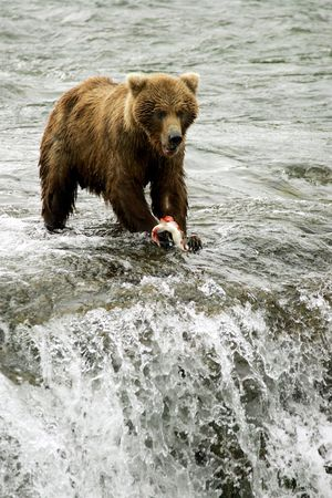 salmon falls: Grizzly bears fishing for salmon, Brooks Falls, Katmai NP, Alaska
