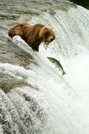 grizzly: Grizzly ponosi połowów łososi, Brooks Falls, Katmai NP, Alaska Zdjęcie Seryjne