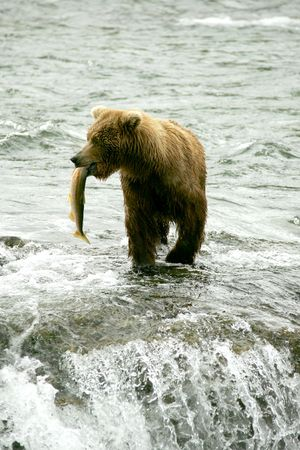 Grizzly Beer vissen op zalm, Falls Brooks, Katmai NP, Alaska  Stockfoto - 3423757