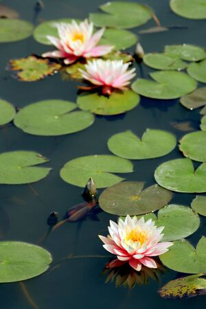 Pond with pink lilies, Vietnam photo