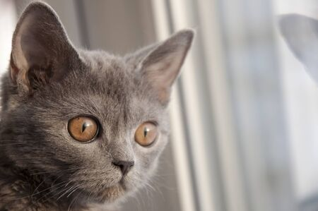 window reflection: British Shorthair cat is looking forward at the window. Reflection