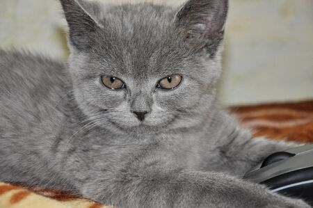 laying forward: British Shorthair cat is laying on the bad and looking forward