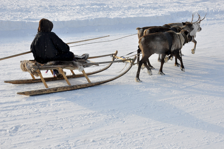 wintriness: The man are sledging with deers in the snowy field track