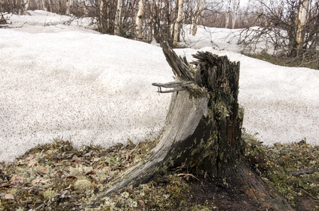 wintriness: Stump on the ground and snow. Early spring