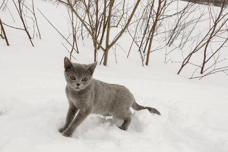 purring: British Shorthair cat is hunting in the winter meadow with white snow Stock Photo