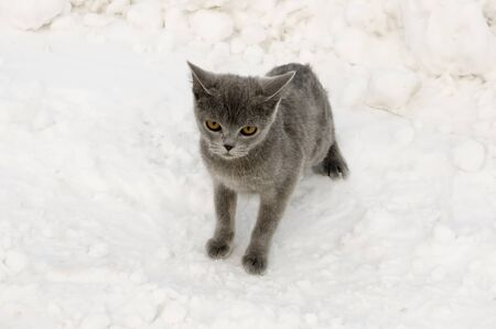 British Shorthair cat is hunting in the winter meadow with white snow Stock Photo