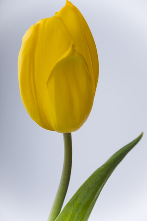 Yellow tulip flower on the blue  white background