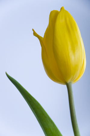 floristics: Yellow tulip flower on the blue  white background