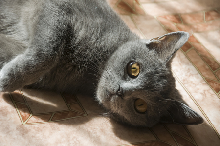 British Shorthair cat is laying on the floor 2