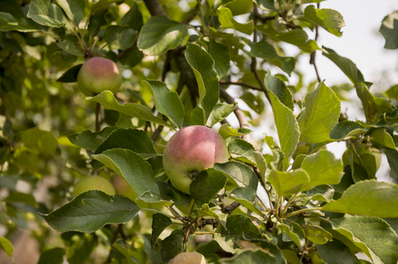 Green fruit apples with a bit of pink ripening on the branch of tree. Summer