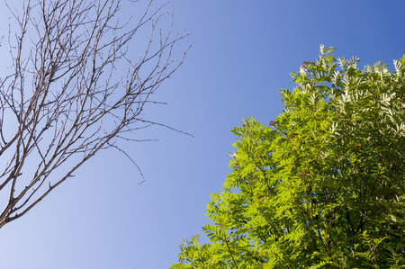 Branch of birch with leaves and without on the background with blue sky. Summer contrast. Opposites