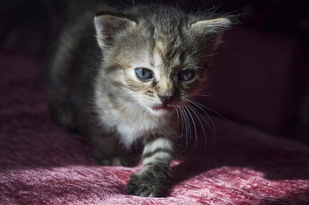Tricolor little kitten with blue eyes is walking on the pink bedcover