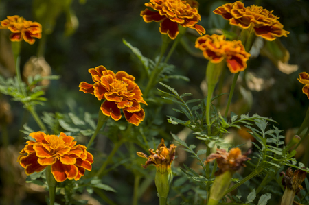 Many marigolds flowers on the autumn flower-bed Stock Photo