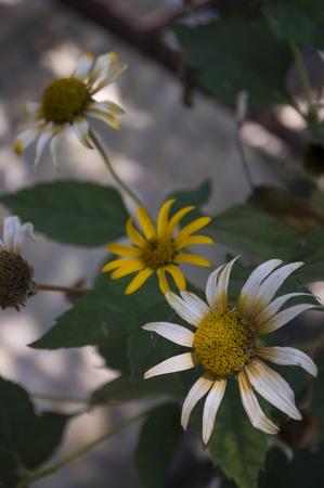 Rudbeckia flower. Garden yellow flower. Still life. dry herb. Autumn Stock Photo