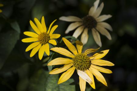 Rudbeckia. Garden yellow flower. Blossom