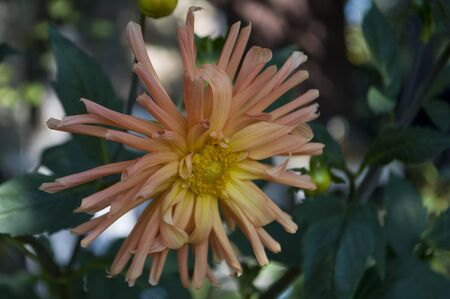 Dahlia flower is growing on the autumn flower-bed Stock Photo