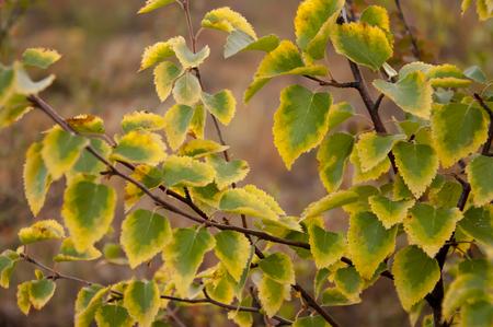 Autumn yelllow green leaves of birch branch Stock fotó