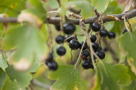 Ripe black currant berries are growing in the garden. Early autumn